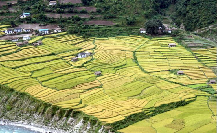 Emerald and Golden Paddy Fields of Nepal